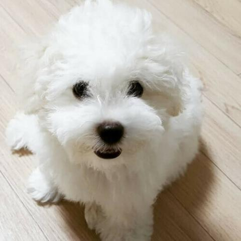 Bichon Frise Dog Breed Info