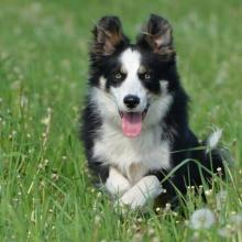 Border Collie Dog Breed Info