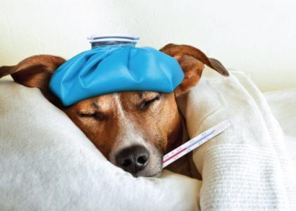 Dog flu CIV